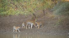 #Latepost #tadobatigersafari #April2016 Tigress with her cubs at Tadoba andhari tiger reserve #tadobatigerreserve