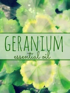 Geranium Essential Oil-one if the most effective anti-aging oils you can find. Geranium Essential Oil, Essential Oil Uses, Doterra Essential Oils, Natural Essential Oils, Geranium Oil, Healing Oils, Aromatherapy Oils, Young Living Oils, Young Living Essential Oils
