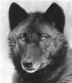 """Blackwatch -by Scott Ian Barry, from the book """"Wolf Empire."""" There is something very intelligent about that face."""