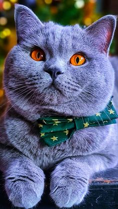 Baby Animals Pictures, Animals And Pets, Cute Animals, Cute Black Cats, Grey Cats, Cute Cats And Kittens, Kittens Cutest, Chartreux Cat, Cute Cat Wallpaper