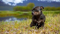 Собака стаффордширский терьер (фото): сильный, умный и добрый питомец