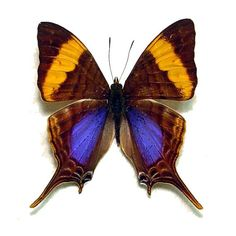 This listing is for one real Marpesia corinna butterfly, ready for your DIY project. From Peru. Wingspan is about 1.5 inches. The first picture here