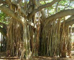 Hawaiian Banyan Tree