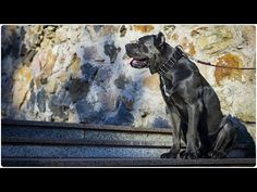 Cane Corso looks impressive in Extra Wide Leather Dog Collar with Spikes - Top Paw Style Leather Dog Collars, Cane Corso, Spikes, Strong, Dogs, Animals, Style, Cnd Nails, Swag