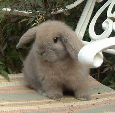 cashmere mini lop ...........click here to find out more http://googydog.com