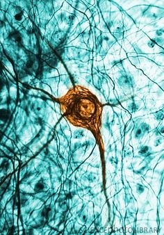 Cell Photograph - Neuron, Tem by Science Source Bio Art, Anatomy Art, Human Anatomy, Grays Anatomy, Science Art, Science And Nature, Science Biology, Brain Neurons, Microscopic Photography