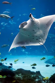 "One of my finest memories: the sudden appearance of a manta ray. ""Water Wings"" Manta Ray, by Jeff Milsteen"