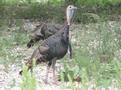 Turkey on the Banks of Llano River. www.anthonywhitt.com