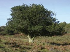 Large holly tree in a field