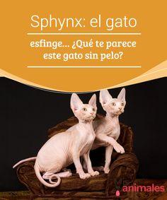Sphynx: el gato #esfinge… ¿Qué te parece este gato sin pelo?  El #Sphynx o gato esfinge es un gato que rompe todos los tópicos que siempre han rodeado al mundo felino. Además de tener una #fisiología diferente, goza de una #personalidad que se parece más a la de un perro que a la de cualquier felino. Este #gato egipcio fue el #modelo en el que Steven Spielberg se inspiró para crear a su más #famoso personaje de cine, E.T.