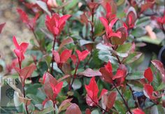 Photinia × fraseri 'Little Red Robin' Christmas berry, 1m high, 1m spread, full sun, partial shade, evergreen.  It colours up best in full sun, and will usually only flower in sunny conditions, although it makes a handsome background evergreen shrub in partial shade, too.