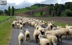 New Zealand sheep on a country road