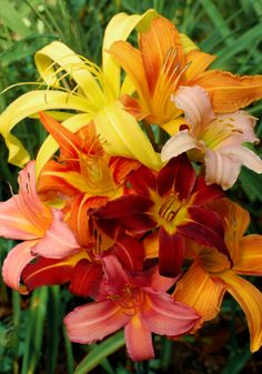 Old House Gardens Heirloom Bulbs: day lily sampler