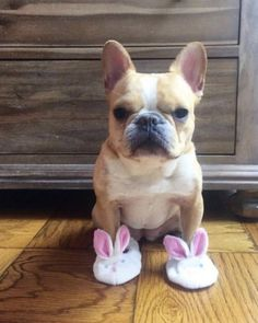 """""""On Wednesdays we wear Bunny slippers"""",.. """"I don't know why, we just do"""", funny French Bulldog ❤"""