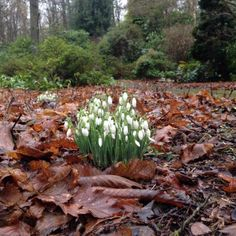 Snowdrops in the woods at Doddington Place Gardens #snowdrops #gardens