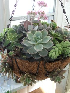 Cacti and succulents, succulent gardening, container gardening, organic gar Hanging Succulents, Growing Succulents, Succulents In Containers, Succulent Arrangements, Container Plants, Cacti And Succulents, Hanging Plants, Container Gardening, Indoor Plants