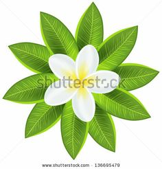 Beautiful white tropical flower. Vector illustration for your fresh romantic design. Frangipani plumeria with leaves isolated on white. by K...