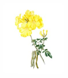 Watercolor Flowers, Watercolor Paintings, Exotic Plants, Maria Alice, Botanical Illustration, Botanical Prints, Vintage Prints, Flower Art, Drawings