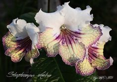 Streptocarpus 'Ambra' by Piotr Kleszczynski from Poland. Plants or leaves may be available.