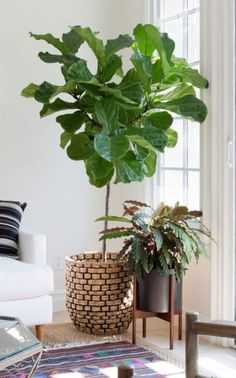 Potted Trees, Fiddle Leaf Fig, Interior Plants, Slow Living, Ficus, Garden Pots, Houseplants, Indoor Plants, Greenery