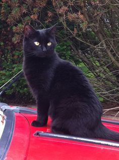 Black Cat on the red car-pet!