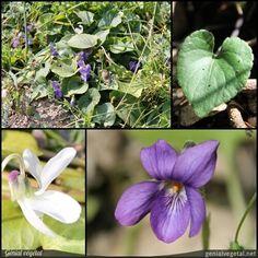 Plante vivace de la famille des Violacées (Violaceae), aux feuilles : touffe, simple - limbe unique, découpée, et fleur : solitaire, blanche ou violette. Elle est comestible, médicinale, calmante, émolliente, expectorante, hépatique, laxative.