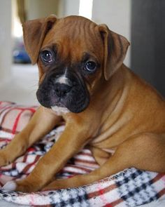 One day I will adopt a boxer!