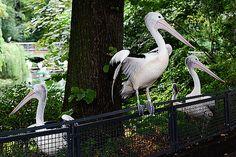 Alexander Vinogradov - Three pelicans.
