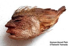 Shown above is one of dozens of unrelated human-faced fish species belongs to the collections of Dr. Takeshi Yamada of the Coney Island University in New York City. This particular human-faced monster (9¼ inch) is originally captured in Yangtze River in China in 2007. Human-faced Fish (人面魚, Jinmengyo) by MUSEUM OF WORLD WONDERS (Part 3) Dr.Takeshi Yamada, via Flickr