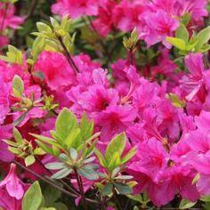 Como fazer azaleia florescer - cuidados para um lindo jardim!