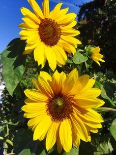 Herrliche Sonnenblumen am Wegesrand in der Toskana ... Sun Flowers, Fractals, Abs, Gardening, Plants, Sunflowers, Paintings, Tuscany, World