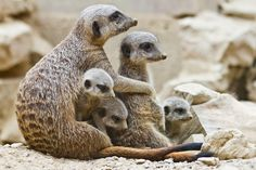 A typical meerkat litter consists of three pups, but they can have as many as five. Photo by rofanator