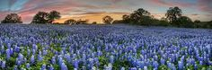 Image result for texas bluebonnets