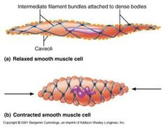 Histology of smooth (involuntary) muscle