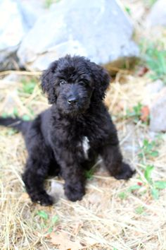 our happiness tour #goldendoodle #dogs #cute