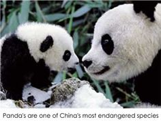 One of China's most endangered species