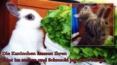 Die Kaninchen fressen Ihren  Salat im stehen und Schnucki jagt eine Fliege