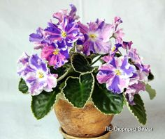 African Violet@LE - Siurpriz Zimy@leaf@Ukrainian Variety@ | eBay