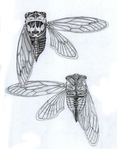 cicada-study-justin-overholt.jpg (705×900)