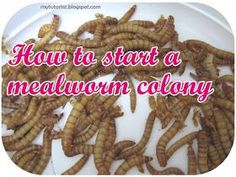 Behind Mytutorlist.com: How To Start A Mealworm Colony
