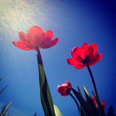 #tulip #spring #garden