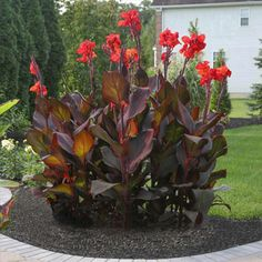 Gardening With Containers Canna Tropicanna Black. A vigorous canna with glossy, dark maroon leaves and brilliant, red-orange flowers. Grows to 4 feet in just a few months. Suitable for gardens, landscaping and containers. Landscaping Supplies, Landscaping Plants, Front Yard Landscaping, Landscaping Ideas, Inexpensive Landscaping, Landscaping Software, Canna Lily Landscaping, Tropical Landscaping, Exotic Flowers