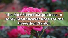"""The Pink Flower Carpet Rose, another show stopper. The plump buds on this Carpet Rose open to a beautiful iridescent pink with a white center. Too bad... this plant has no fragrance. Usually 18 flowers per cluster. Glossy green foliage. Grows 24""""-32"""" tall (60cm). I bet this plant looks great in containers.... - #pink #rose #hand #garden #pink flower carpet rose"""