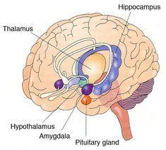 Ear Anatomy, Anatomy Bones, Brain Anatomy And Function, Brain Nerves, Brain Models, Limbic System, Brain Facts, Trauma Therapy, Human Body
