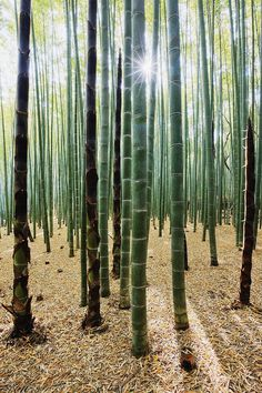 Sun peeking through a #Bamboo Forrest