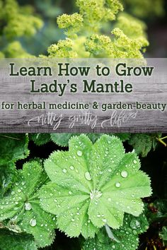 A supremely useful herb for the home apothecary, learn how to grow lady's mantle for beautiful foliage and soft blooms in the garden. Use these alchemilla growing tips to grow the perennial favorite of herbalists and gardeners alike! Medicine Garden, Herbal Medicine, Organic Gardening, Gardening Tips, Vegetable Gardening, Container Gardening, Amazing Gardens, Beautiful Gardens, Alchemilla Mollis