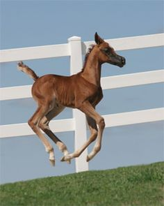 Arabian filly  Flying!