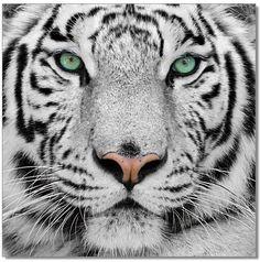 Tiger Wall Murals Guest Posts Mews ねこ cat cats cute 猫 ネコ katze katzen kawaii The WOW Wall Beautiful Green Eyes, Beautiful Cats, Animals Beautiful, Beautiful Pictures, Pretty Green, Pretty Eyes, Siberian Tiger, Bengal Tiger, Tiger Fotografie