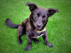 Meet MONICA a Petfinder adoptable Welsh Corgi Dog   Palo Alto, CA   MonicaCorgi MixBlack Spayed femaleWeighs approximately 21 pounds Approximately 1 year...