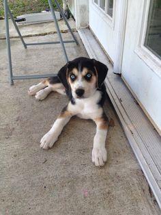 Busky dogs - beagle and a husky Beagle Husky Mix, Art Beagle, Pocket Beagle Puppies, Mutt Dog, Dog Cat, National Mutt Day, Animals And Pets, Cute Animals, Dog Mixes